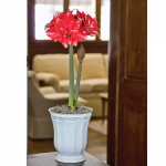 Amaryllis Double Dream