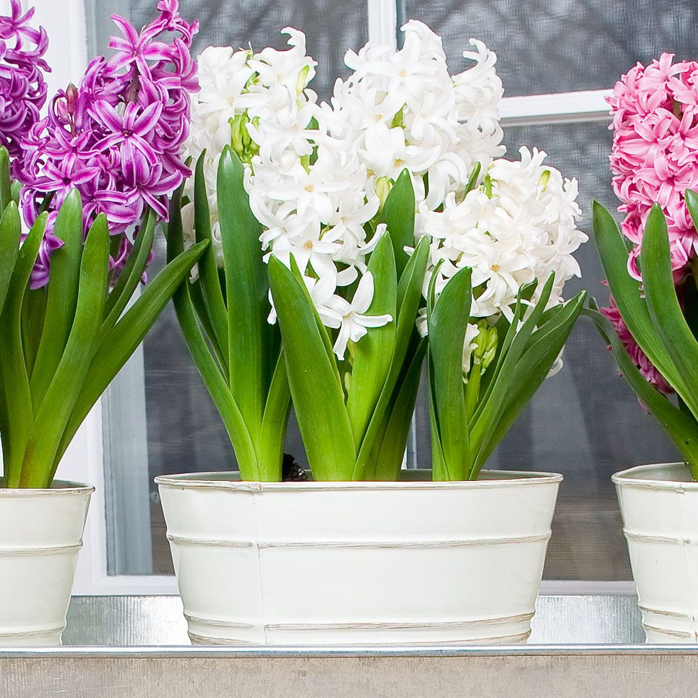 Hyacinth White Pearl Bulb Collection, 6 bulbs in a metal cachepot