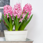 Hyacinth Pink Pearl Bulb Collection, 6 bulbs in a metal cachepot