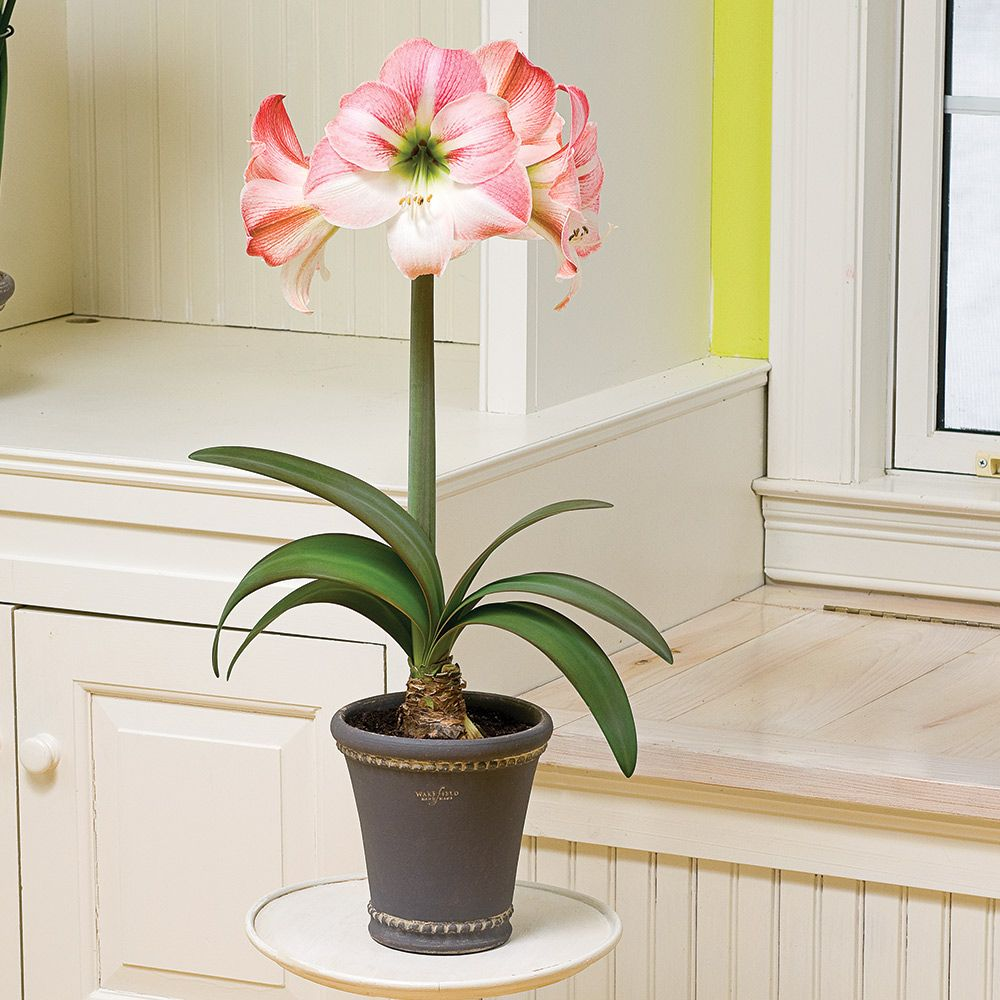 Why does not amaryllis blossom in the room