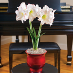 Amaryllis Picotee, one bulb in a 7