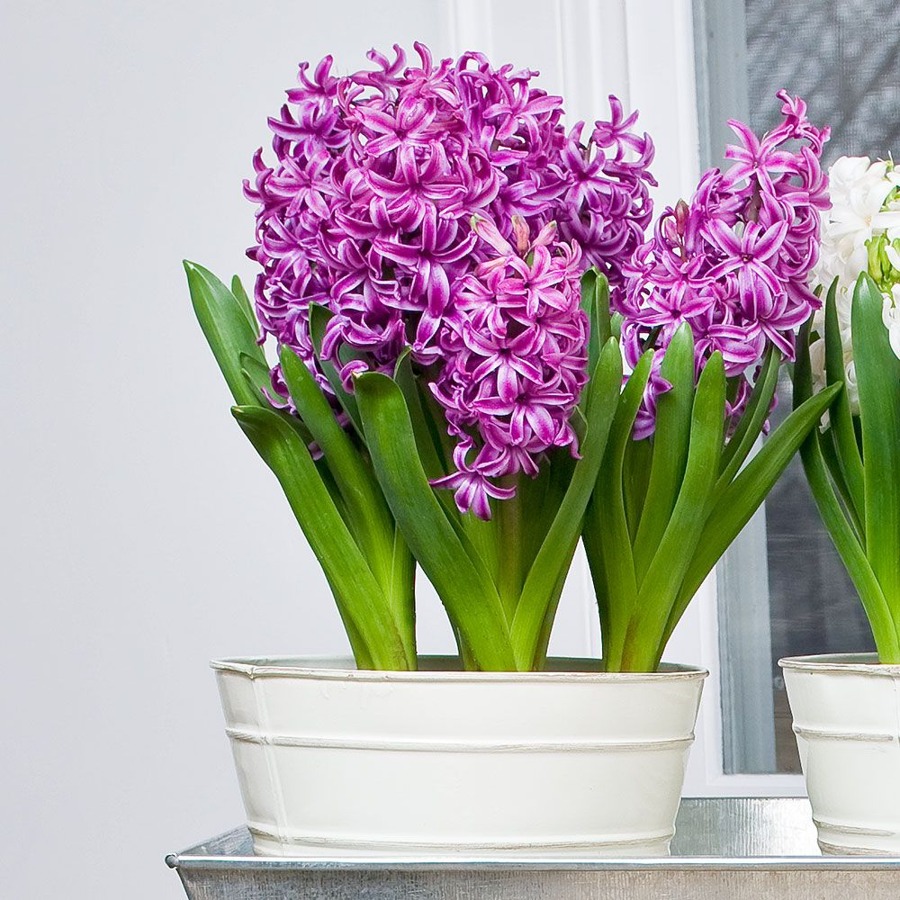 Hyacinth Purple Sensation Bulb Collection, 6 bulbs in 7
