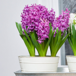 Hyacinth Purple Sensation Bulb Collection, 6 bulbs in a metal cachepot