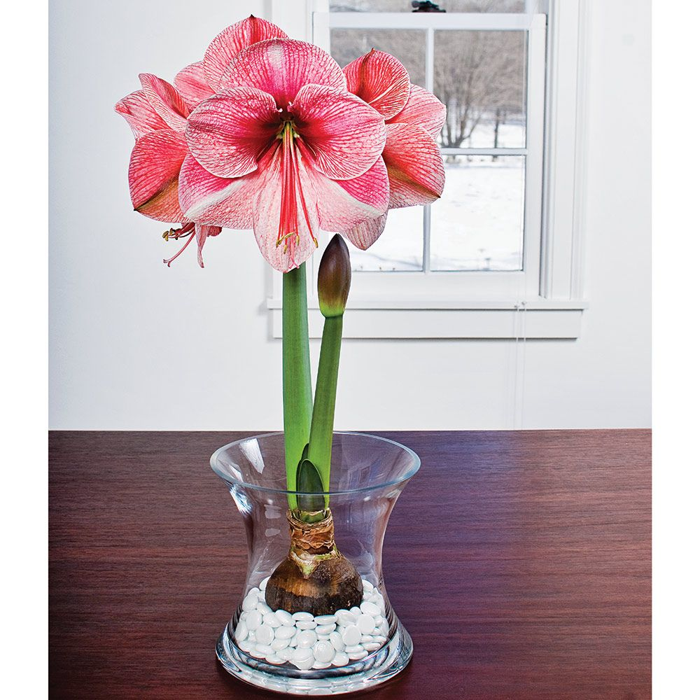 Amaryllis purple rain white flower farm for Vase amaryllis