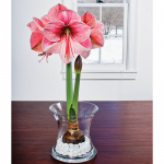 Amaryllis 'Purple Rain,' one bulb, glass vase, and white gem stones