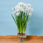 Paperwhite 'Ziva' in Footed Glass Vase