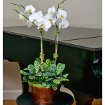 White Moth Orchids in 5½