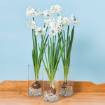 Paperwhite Ziva Trio in Glass Vases