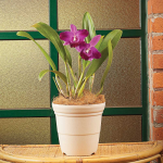 Purple Cattleya Orchid in a 7″ cream nursery pot