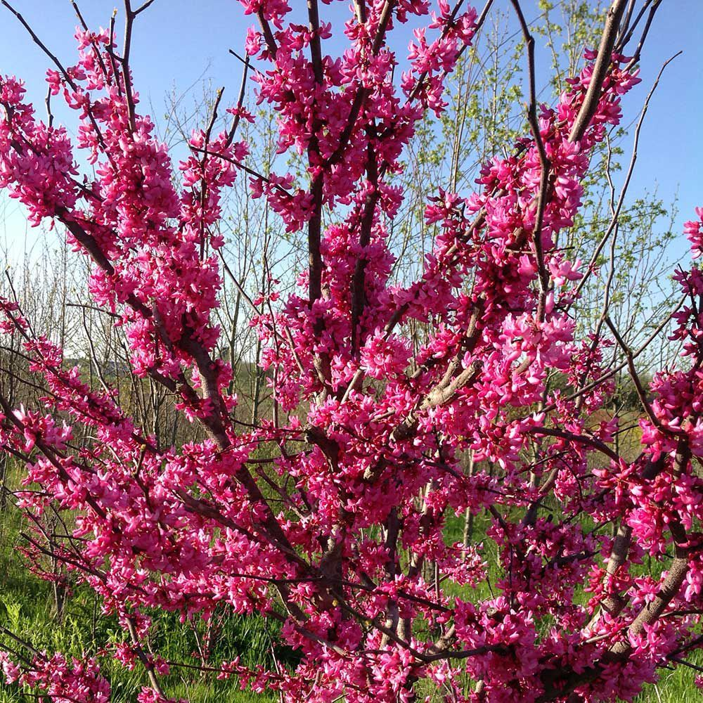 Eastern Redbud White Flower Farm