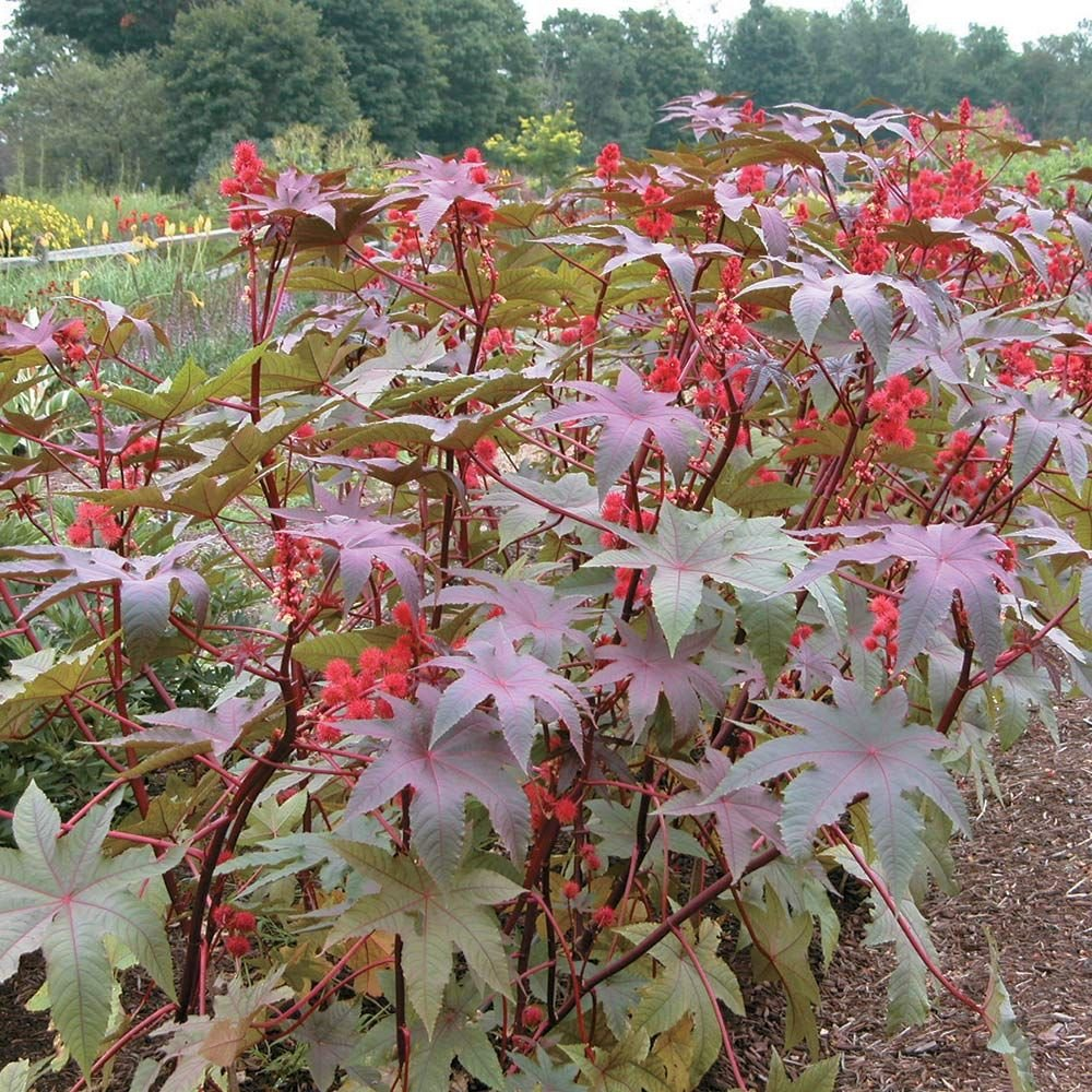 Ricinus 'Carmencita Bright Red'