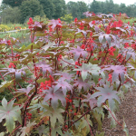 Ricinus Carmencita Bright Red