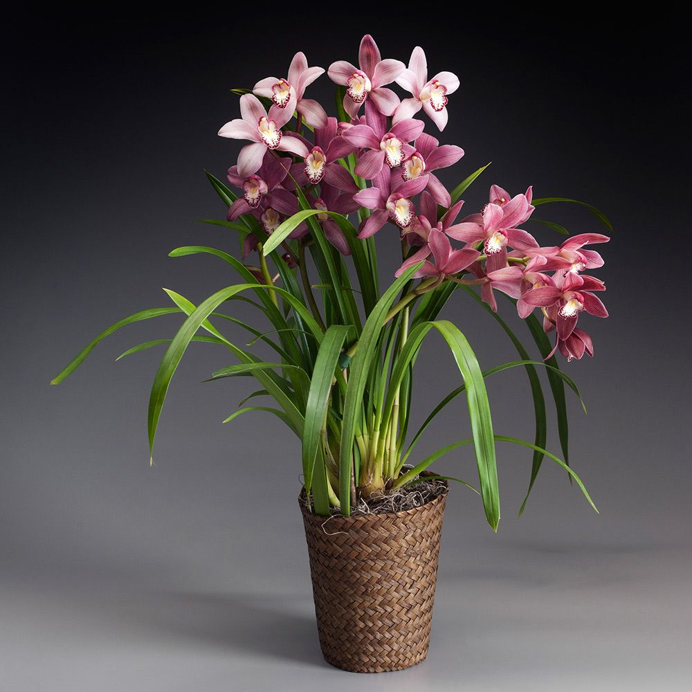 White Orchid Water Pink: Exclusive Pink Cymbidium Orchid
