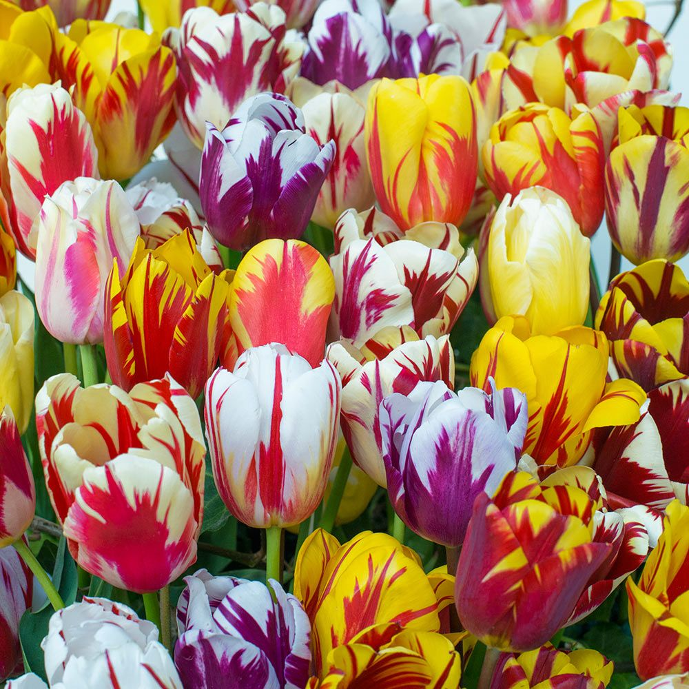 Image result for real Rembrandt Tulips