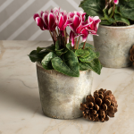 Cyclamen Fantasia® Deep Magenta in brushed marble ceramic pot