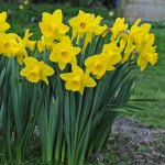 Narcissus 'Lucky Number'