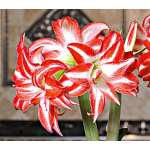 Amaryllis 'Splash,' bulb only