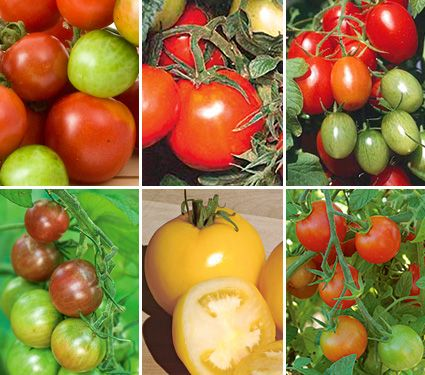 Early Pickers Tomato Collection