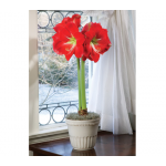 Amaryllis Monaco, one bulb in a cream ceramic cachepot