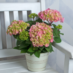 Hydrangea Let's Dance® Big Easy in cream metal cachepot