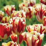 Tulip 'Grand Perfection'