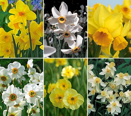 Scent of Spring Daffodil Mixture