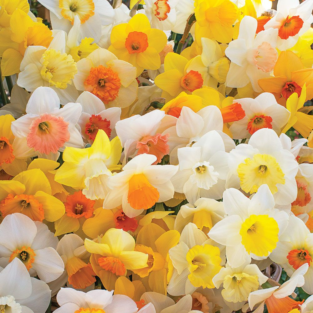 Weatherproof Large-Cupped Daffodil Mix