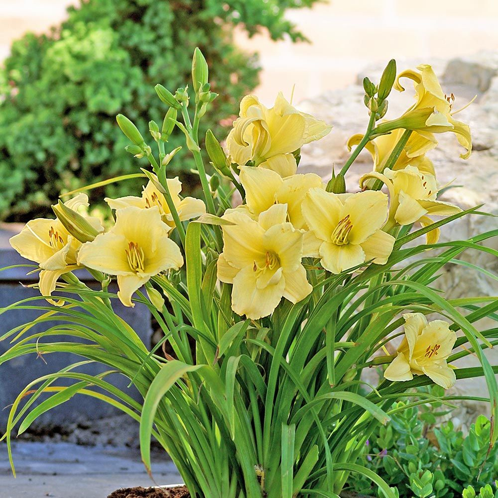 Hemerocallis Fragrant Returns - Reblooming
