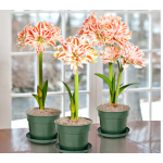 Double Amaryllis in Nursery Pot - Standard Shipping Included
