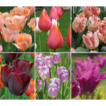 Long-Season Multicolor Tulip Cutting Garden