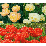 Long-Season Double Tulip Cutting Garden