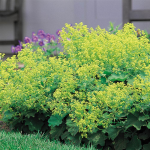 Alchemilla mollis Improved Form