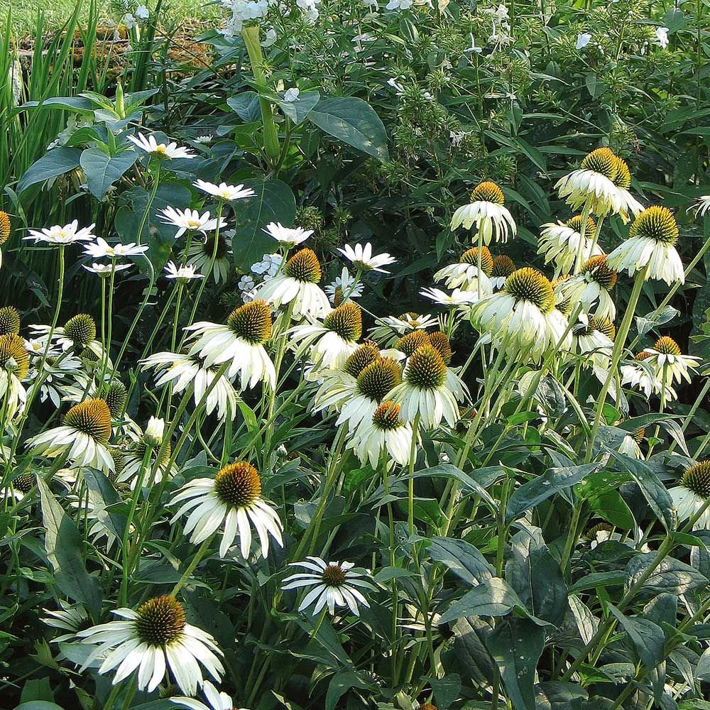 Echinacea purpurea white swan white flower farm echinacea purpurea white swan mightylinksfo Choice Image