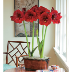 Amaryllis 'Royal Velvet'