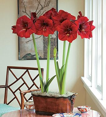 Amaryllis royal velvet white flower farm for Amaryllis royal red arrosage