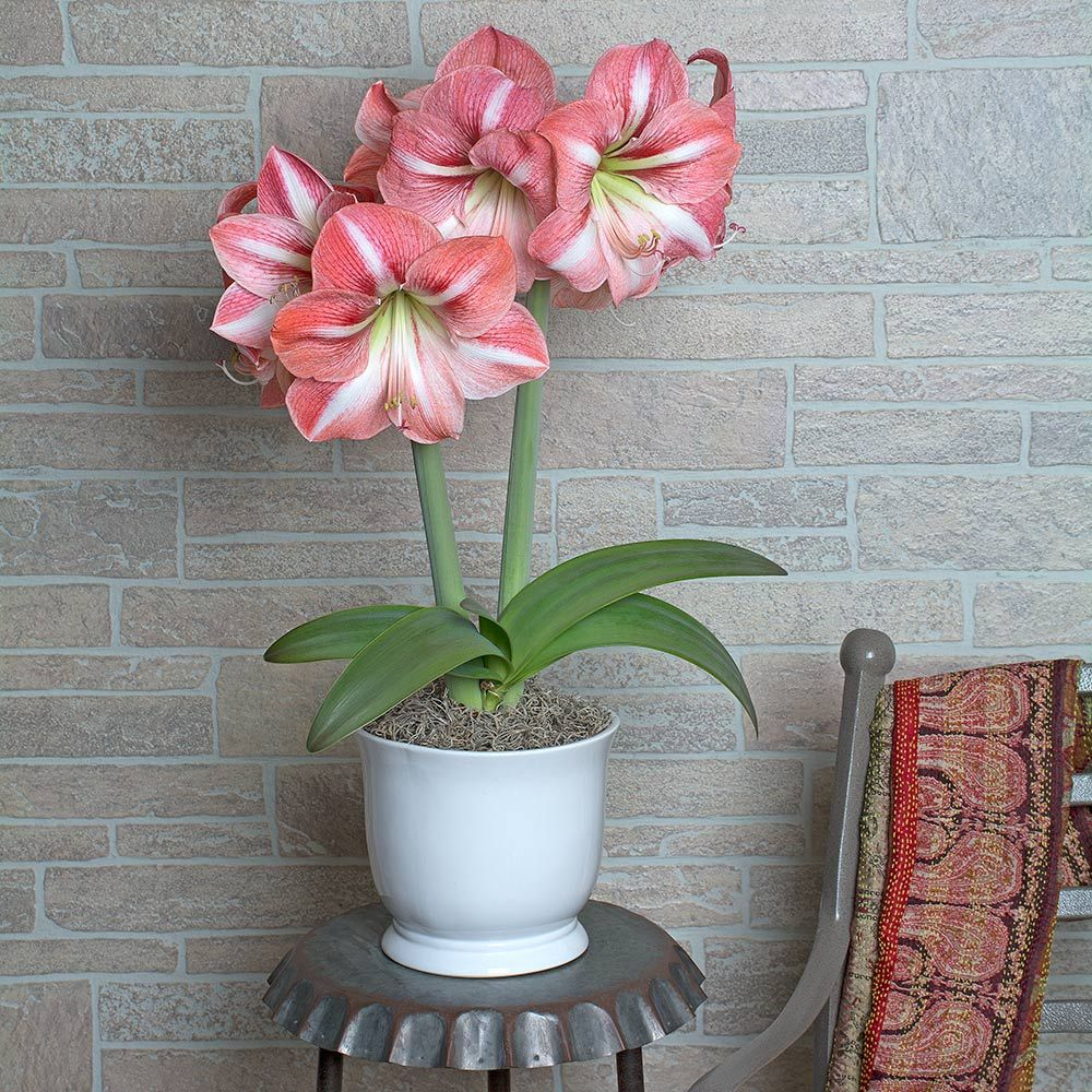 Amaryllis 'Winter Delight'