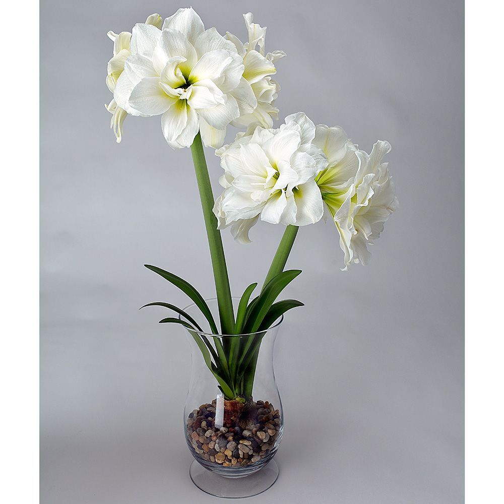 Amaryllis Alfresco White Flower Farm