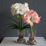Amadeus Amaryllis Duo, two bulbs, two 9″ vases, and river pebbles