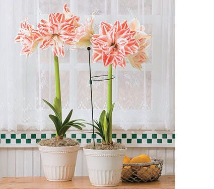 Amaryllis 'Dancing Queen'
