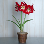 Amaryllis 'Barbados,' one bulb in woven basket