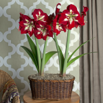 Amaryllis 'Barbados,' 2 nursery pots in a woven basket