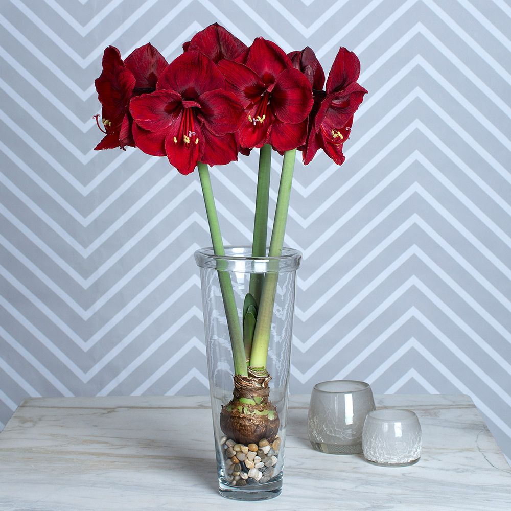Amaryllis benfica white flower farm for Vase amaryllis