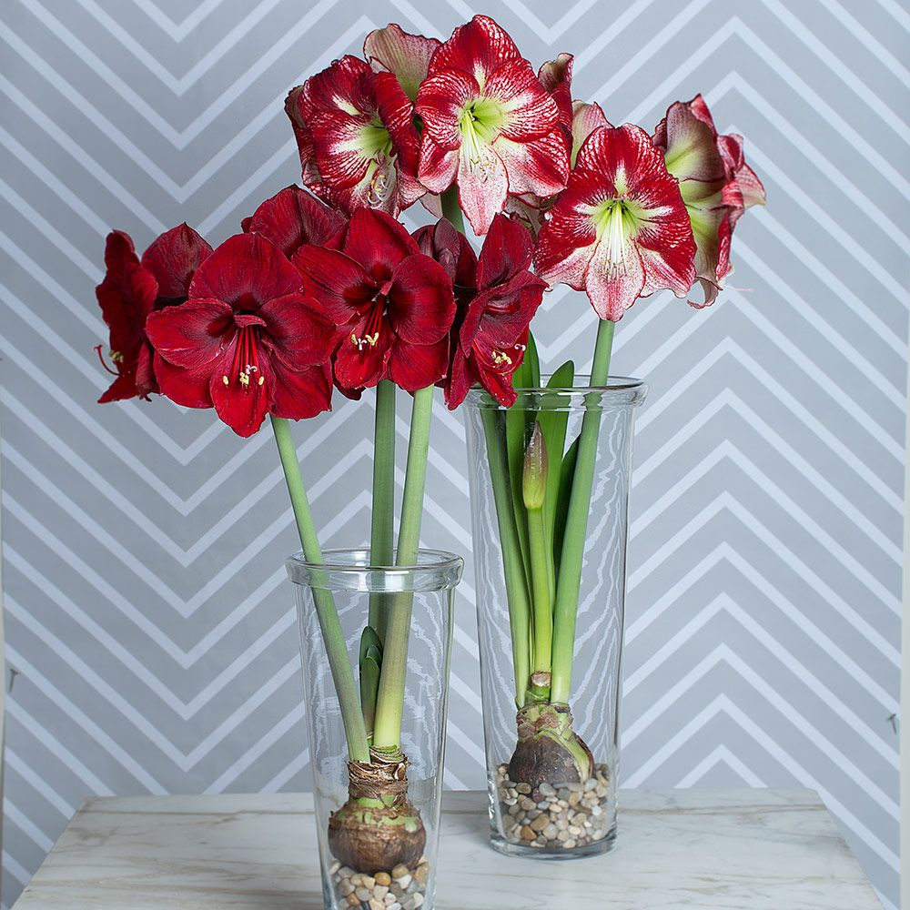 Flamenco flair amaryllis collection two bulbs in glass for Vase amaryllis