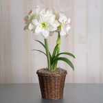 Amaryllis 'Candy Amadeus,' one bulb in a woven basket