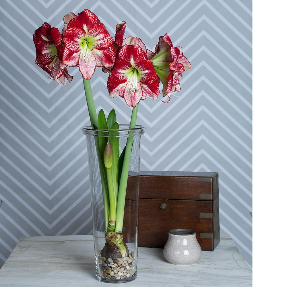 Amaryllis Flamenco Queen, one bulb, one 17½″ vase, and river pebbles