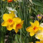 Narcissus 'Pappy George'