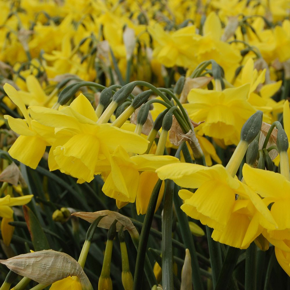 Narcissus 'Yellow Ocean'