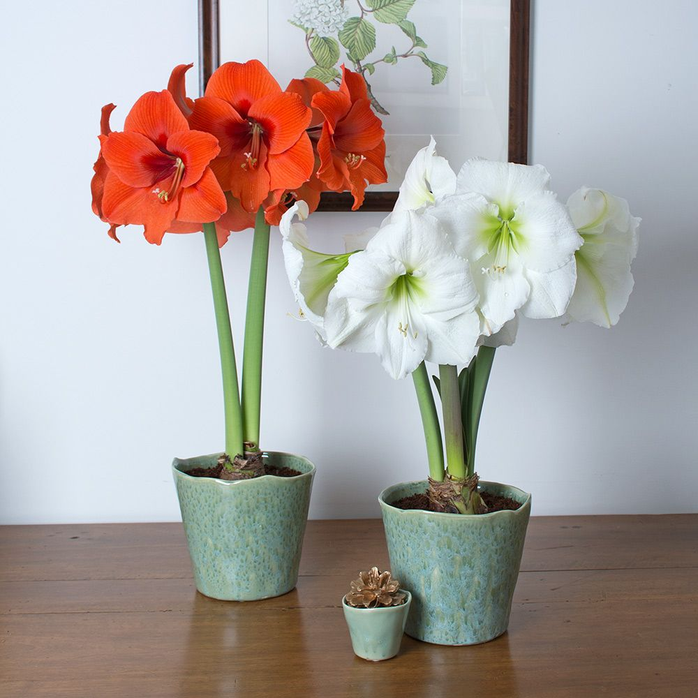 Amaryllis Fire & Ice Duo