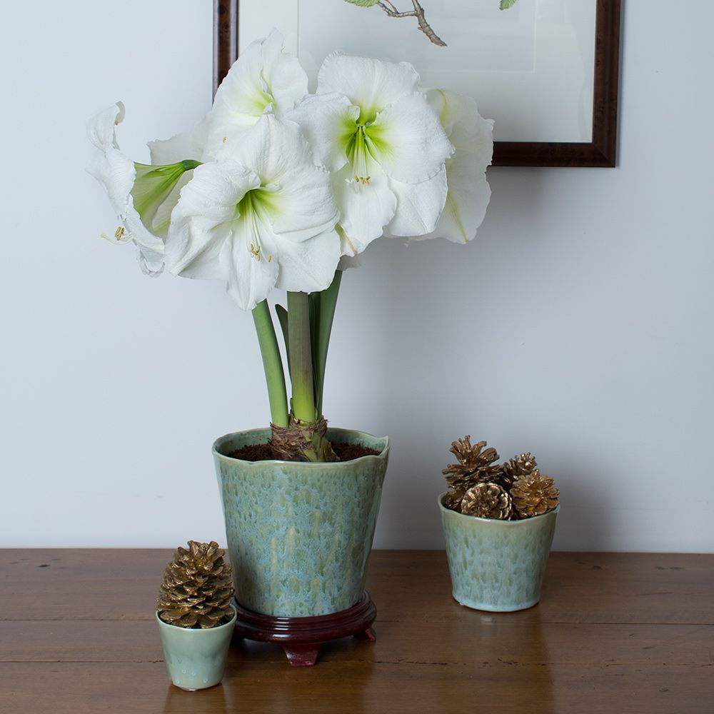 Amaryllis Bulbs For Christmas