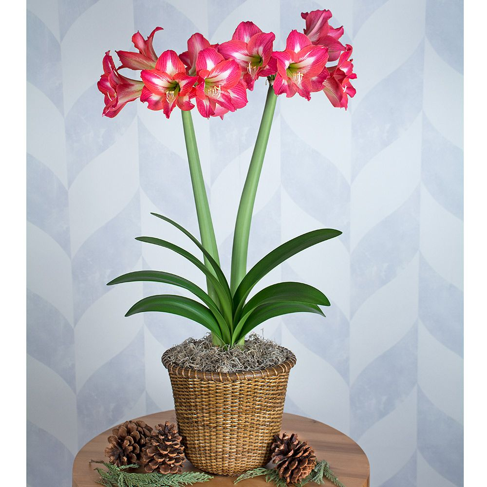 Amaryllis Tres Belle, one bulb in a Nantucket basket